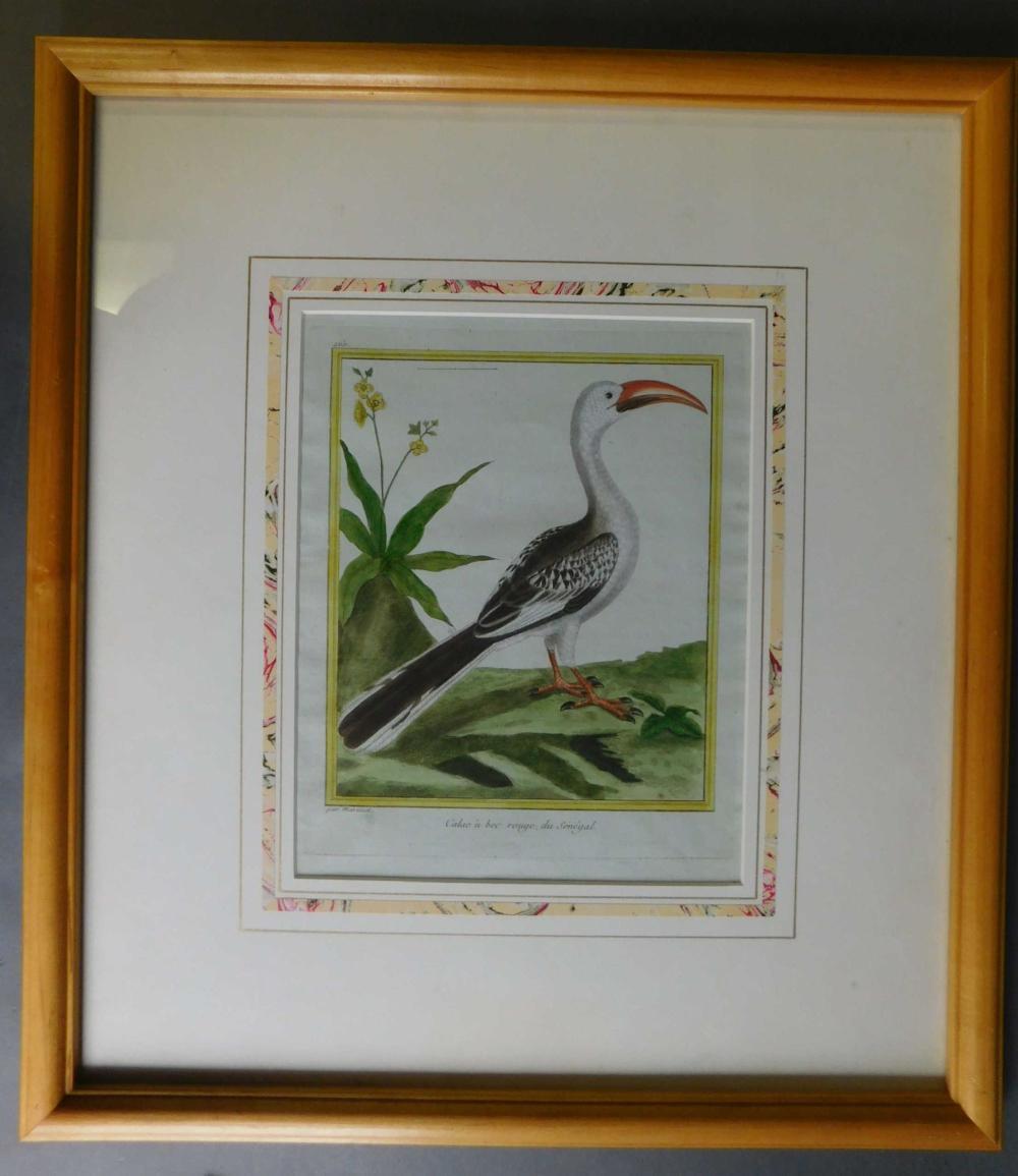 Calao a bec rouge, du Senegal. Framed engraving