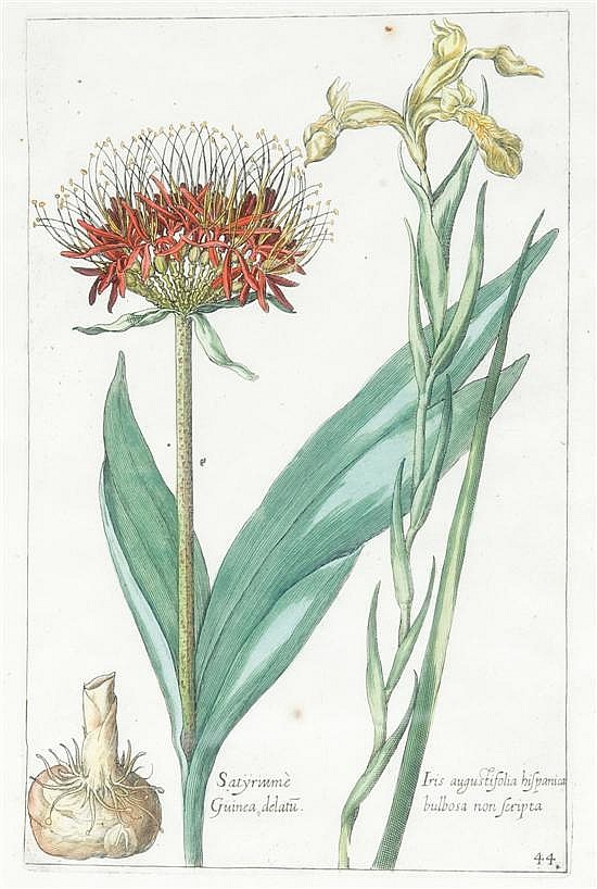 De Bry, Johann Theodor (Flemish, 1561-1623). Hand-colored engraving of yellow iris and Satyriume (Fritillary). [1612-1614] or [1641].