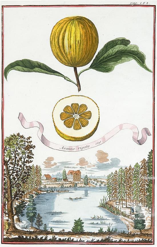 Volckamer, Johann Christoph (1644-1720). Hand-colored engraving. Aranzo Rigato. 1695 [1708]. From Volckamer's