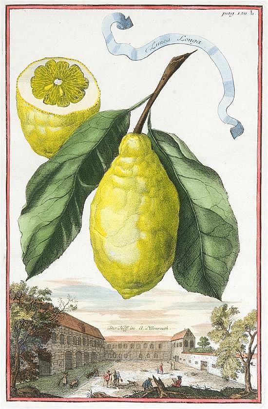 Volckamer, Johann Christoph (1644-1720). Limea Longa. Hand-colored engraving. [1708]. From Volckamer's
