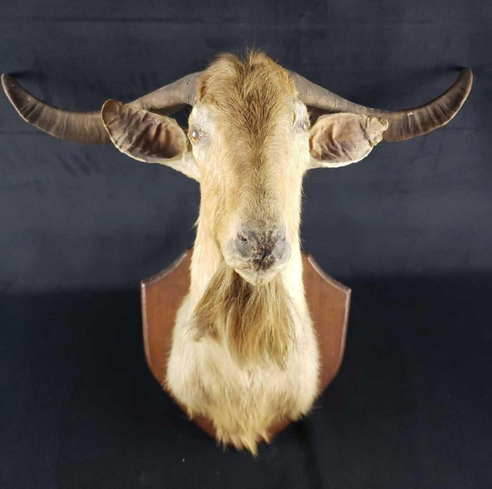 Lot 744: Mountain Goat Mounted Taxidermy Head