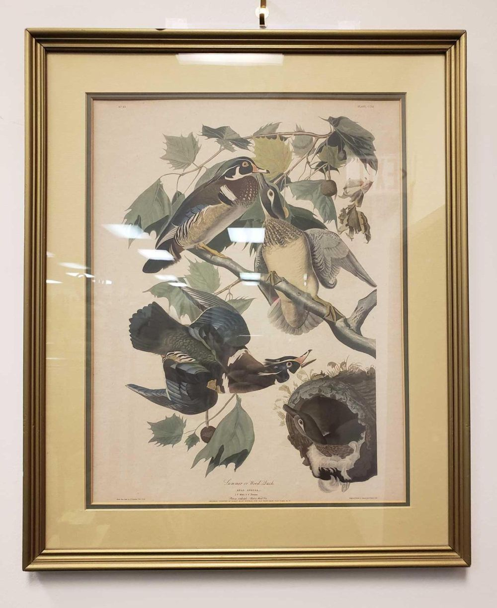 Lot 1091: Summer or Wood Duck Illustration Print