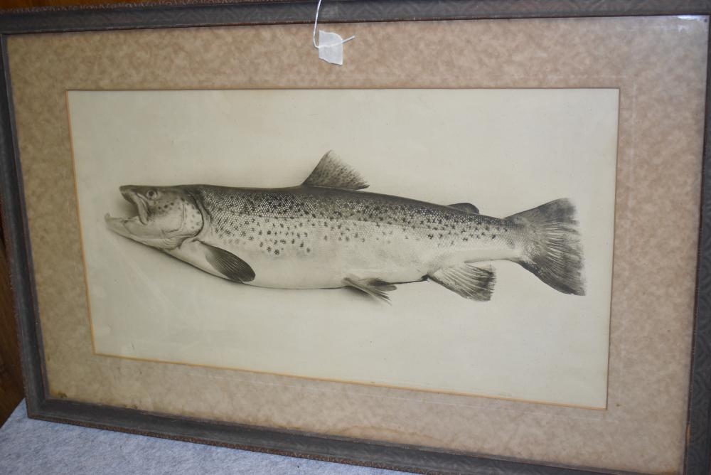 """Large Brown Trout Framed Print – Not Signed – Measures 18½"""" x 29¾"""""""