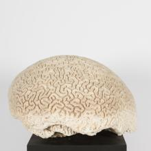 Large Fragment of Brain Coral