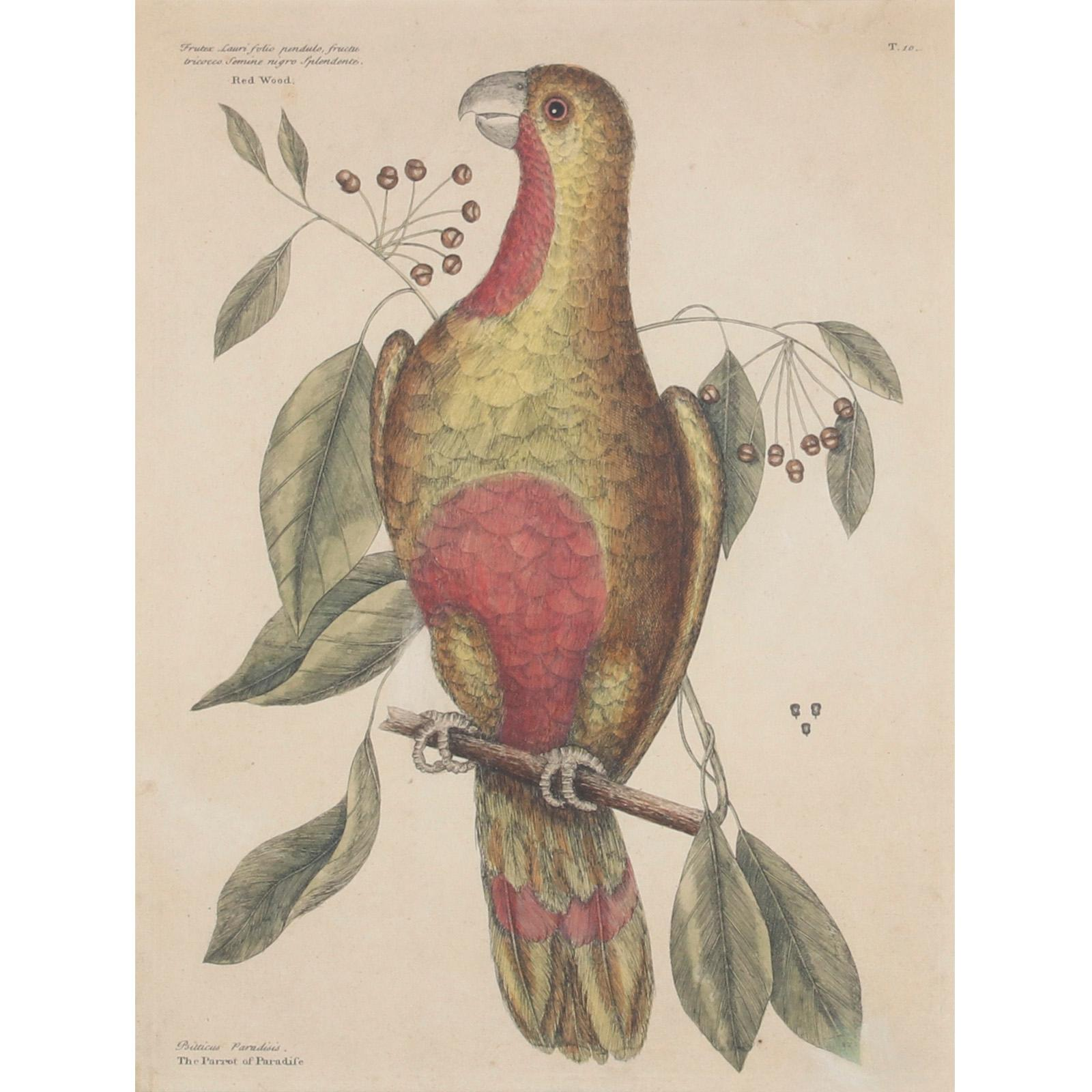"Catesby 1754, Vol. 1 Pl. 10, The Parrot of Paradise of Cuba, Original Antique Print, 1754 hand colored engraving 14 1/4""H x 11""W (image) 24""H x 19""W (frame)"