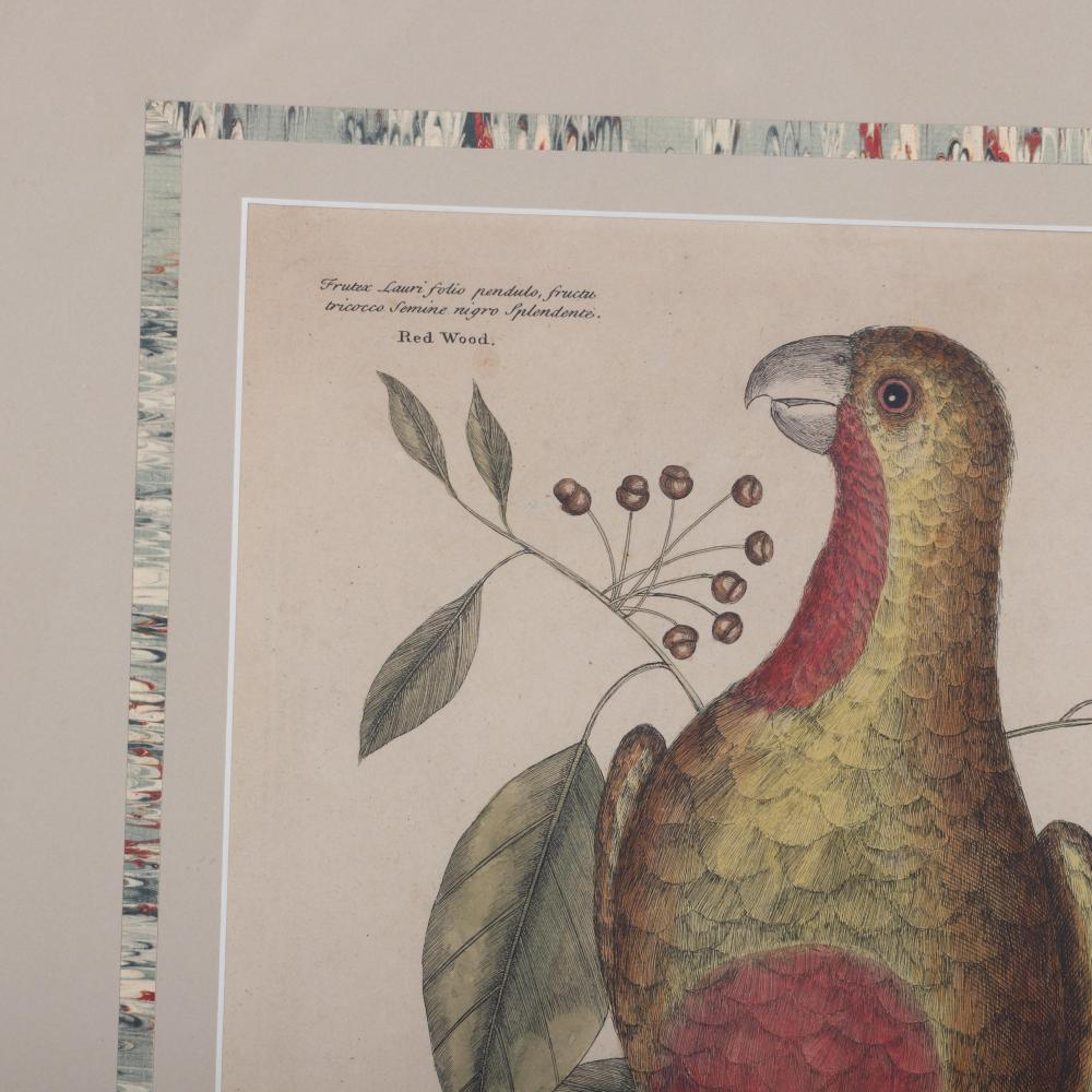"""Catesby 1754, Vol. 1 Pl. 10, The Parrot of Paradise of Cuba, Original Antique Print, 1754 hand colored engraving 14 1/4""""H x 11""""W (image) 24""""H x 19""""W (frame)"""