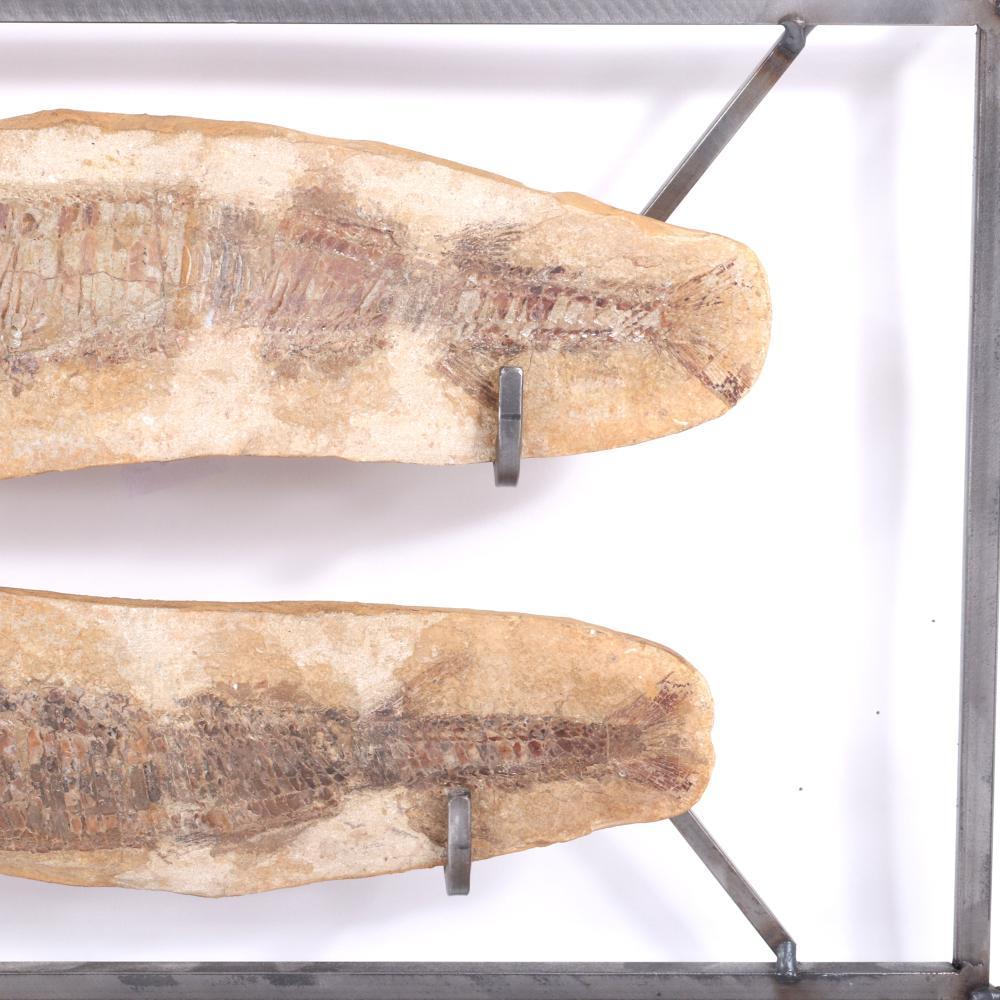 "Vinctifer Comptoni 2pc. natural history fossil specimen, early vertebrate fish, Santana Formation, Sao Paulo, Brazil; Cretaceous Period. 13 1/2""W (one fossil), 15""H x 23""W (metal frame)."