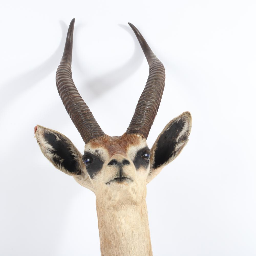 "African Gerenuk (giraffe neck) antelope / gazelle taxidermy head mount. 40""L"