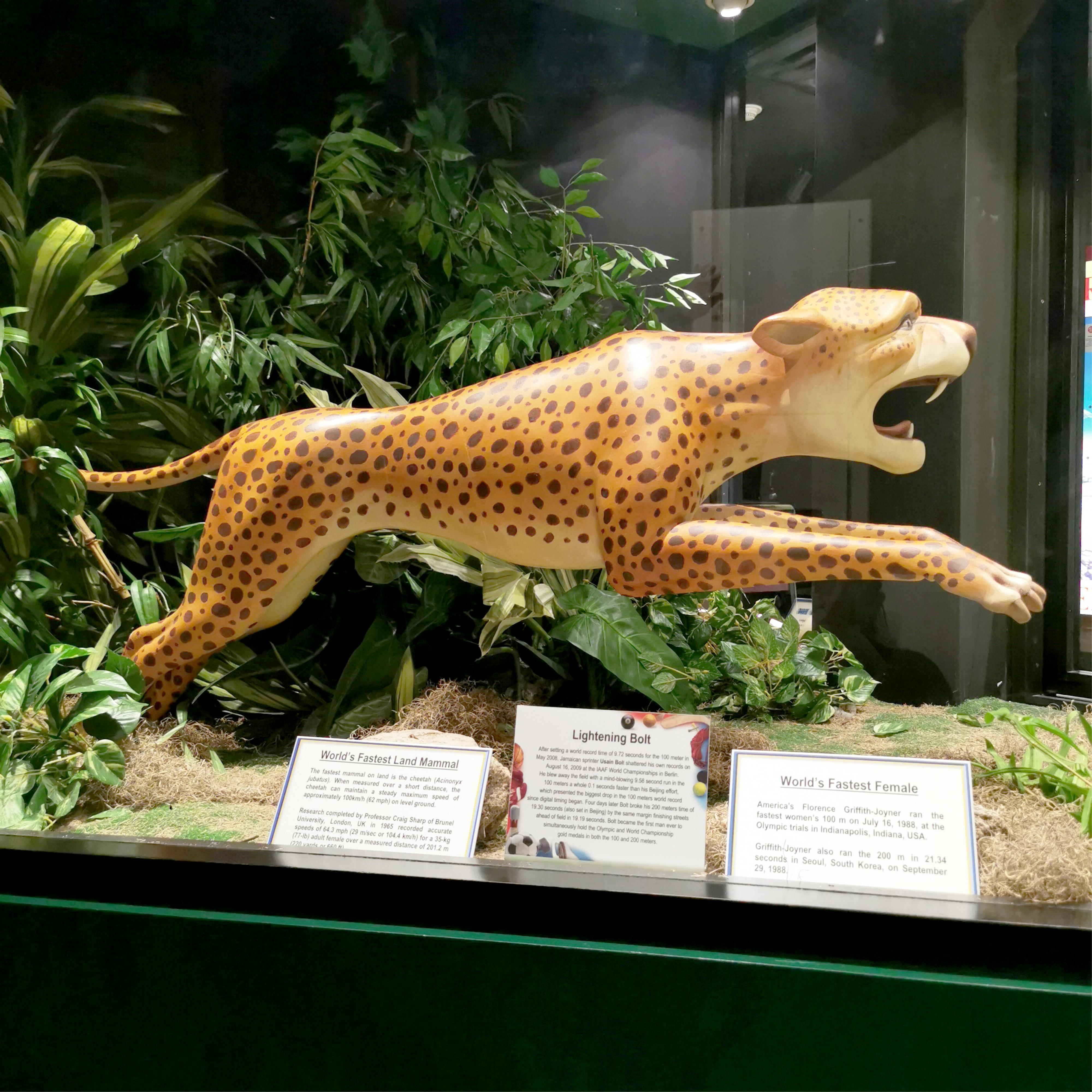 Guinness World Record Fastest Mammal Cheetah Museum Display