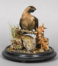 A taxidermy specimen of a Waxwing (Bombycilla garralus) In a naturalistic setting, under a glazed dome.  25 cm high.