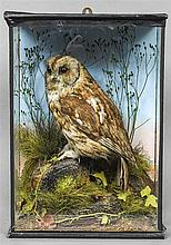 An early 20th century taxidermy specimen of a Tawny Owl (Strix aluco) In a naturalistic setting, in a glazed cased bearing the label of F Askew & Sons, 14  Duke Street, Manchester Square, London.  49 cm high.