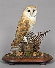 A modern taxidermy specimen of a Barn Owl (Tyto alba) In a naturalistic setting under a glazed dome; together with Article 10 certificate.  45 cm high.