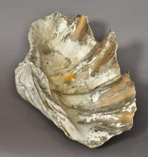 A large clam shell 54.5 cm wide.