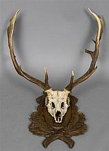 A taxidermy specimen of a preserved fallow deer buck's antlers (Dama dama)