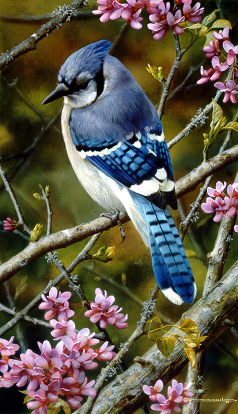 Carl Brenders…Flash Of Sapphire - Blue Jay