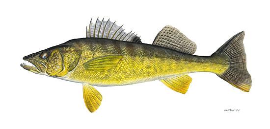 Flick Ford Walleye