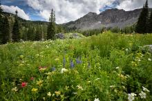 Sandy, Ut Albion Basin Wildflowers By Scott Barlow.