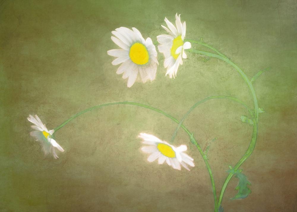 Hal Halli - Wild Daisies
