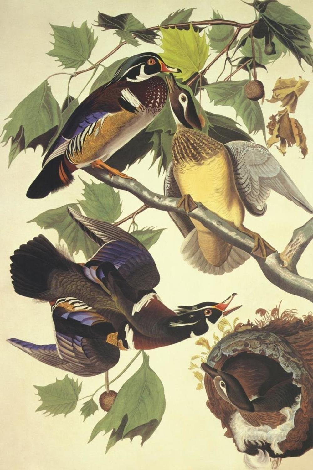 JOHN JAMES AUDUBON - SUMMER OR WOOD DUCK