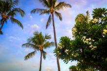 Plumerias And Palms Hawaii. A Gallery Wrapped Canvas By Kelly Wade
