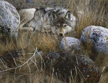 Carl Brenders - One To One - Gray Wolf