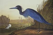 John James Audubon - Blue Crane Or Heron