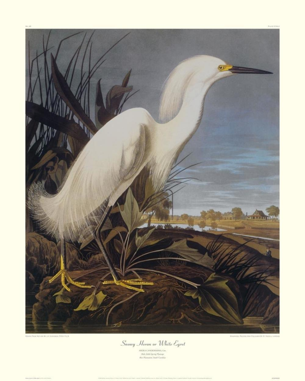 JOHN JAMES AUDUBON - SNOWY HERON OR WHITE EGRET (DECORATIVE BORDER)