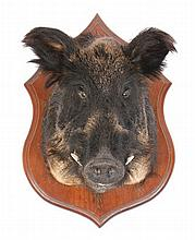 Stuffed boars head mounted on a wooden shield