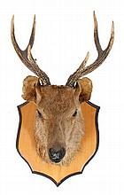 Mounted deer's head trophy