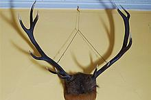 LARGE PAIR OF MOUNTED ANTLERS