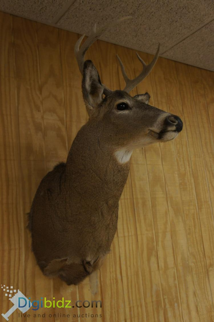 6 Point Whitetail Deer Mount