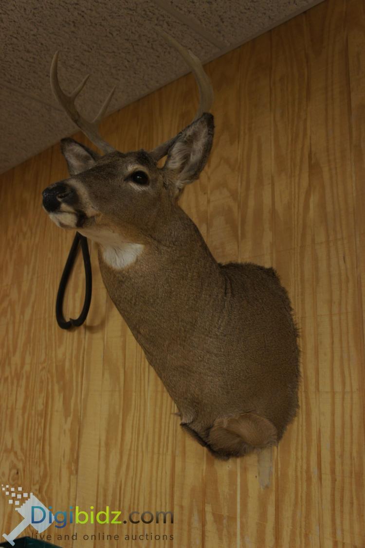Lot 74: 6 Point Whitetail Deer Mount