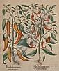 Besler, Basilius (1561-1629), Four plates from Hortus Eystettensis sive Diligens et Accurata Omnium Plantarum..., Eichstatt & Nuremb..., Basilius Besler, Click for value