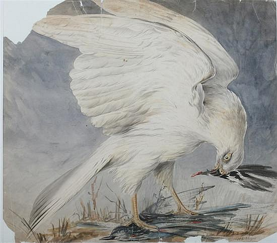 HENRY LEONARD MEYER (British, 1797-1865). WHITE PEREGRINE, signed lower right and titled on verso. Watercolor and ink.