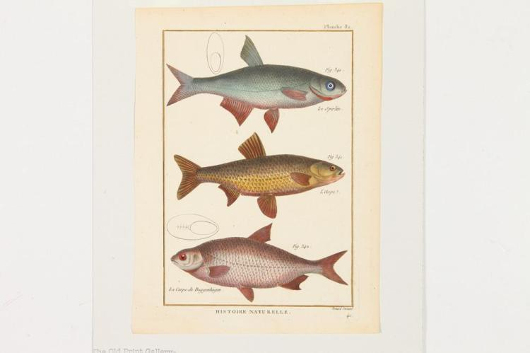 SIX MATTED 18TH/19TH CENTURY, OF THE PERIOD, NATURAL HISTORY ETCHINGS DEPICTING FISH: BONNATERRE & BERTUCH, 18th/19th Century. Two diff