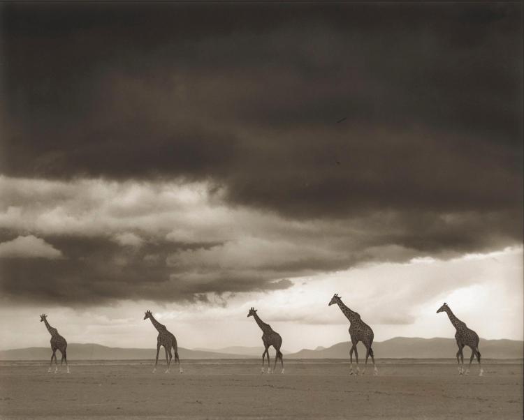 NICK BRANDT | Giraffes Crossing Lake Bed, Amboseli