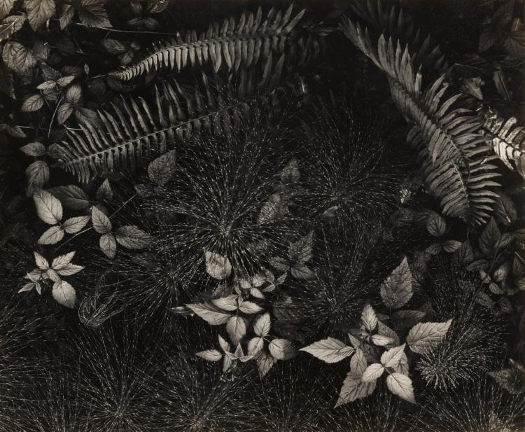 ANSEL ADAMS | 'Leaves Mills College Campus, Oakland CA'