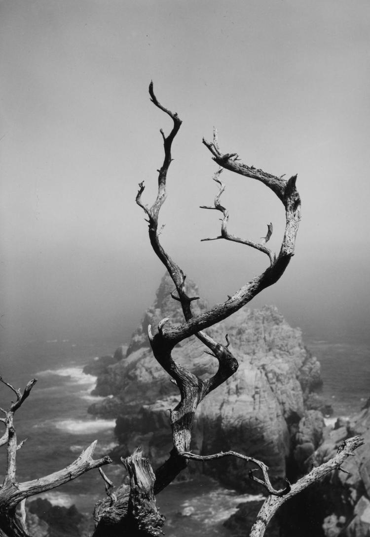 MINOR WHITE | 'Point Lobos, California' (Twisted Tree)