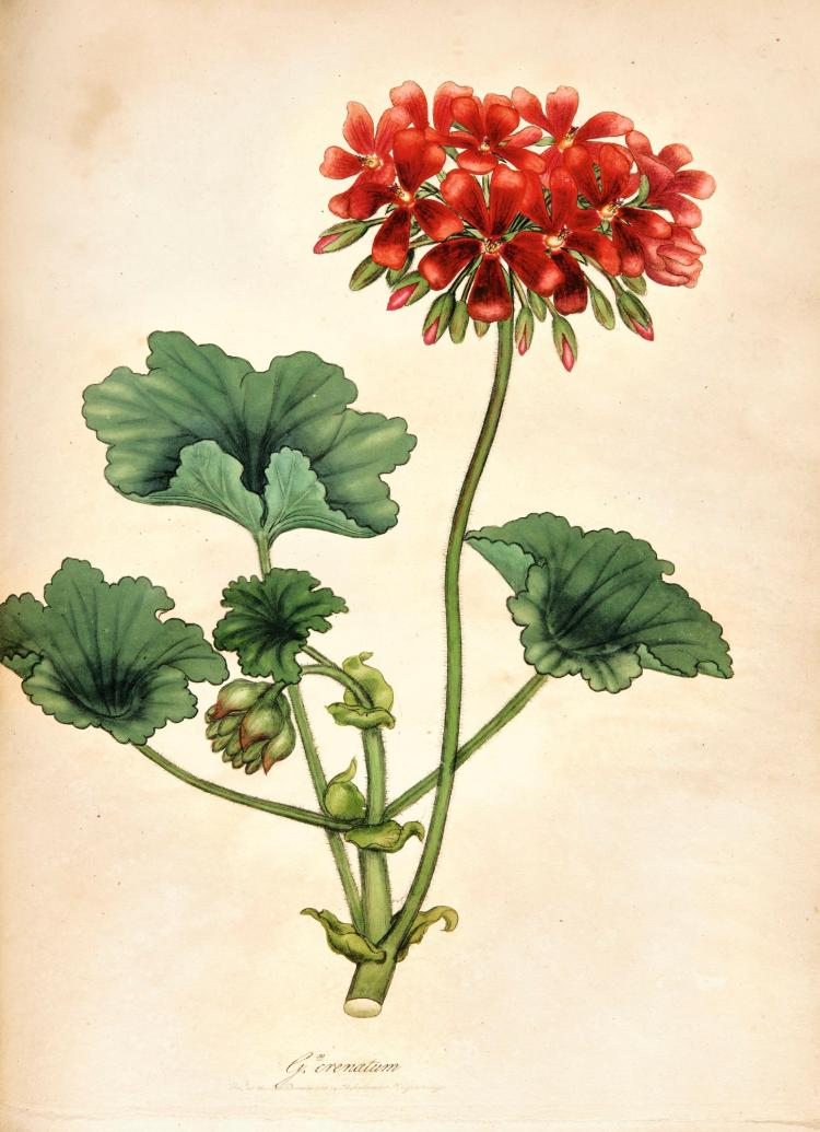 ANDREWS, HENRY. GERANIUMS 1805