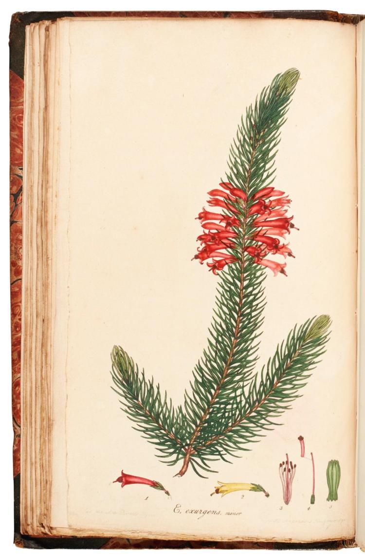 ANDREWS. MONOGRAPH ON THE GENUS ERICA. 1804