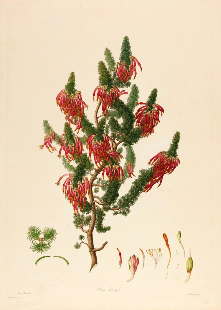 BAUER, FRANZ. DELINEATIONS OF EXOTICK PLANTS CULTIVATED AT KEW 1796