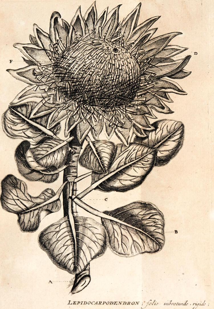 BOERHAAVE. INDEX ALTER PLANTARUM QUAE IN HORTO ACADEMICO LUGDUNO-BATAVO ALUNTUR. 1727
