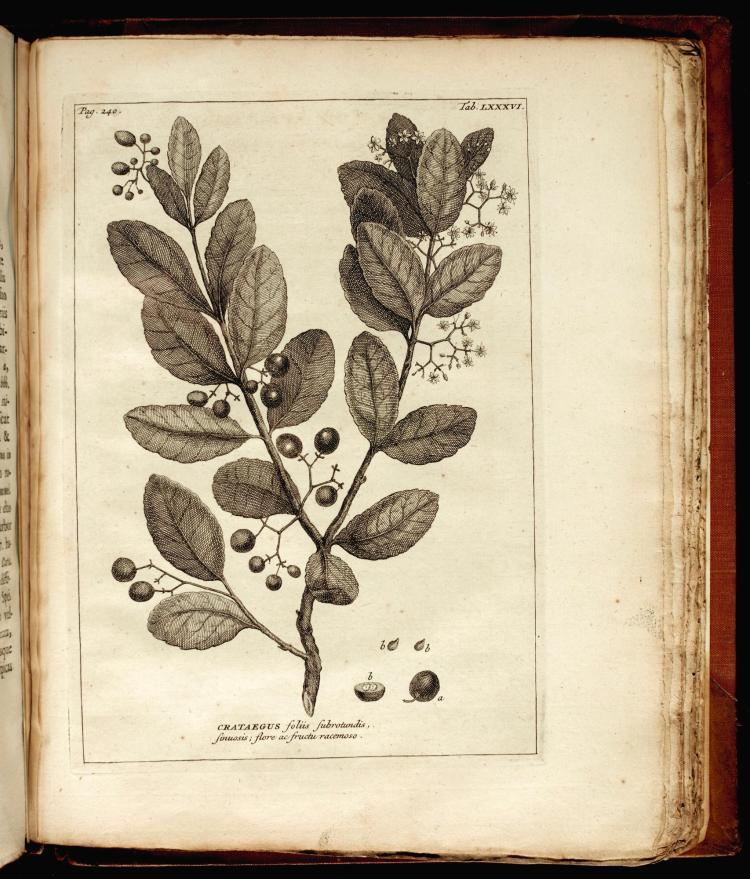 BURMANN. RARIORUM AFRICANARUM PLANTARUM. 1738