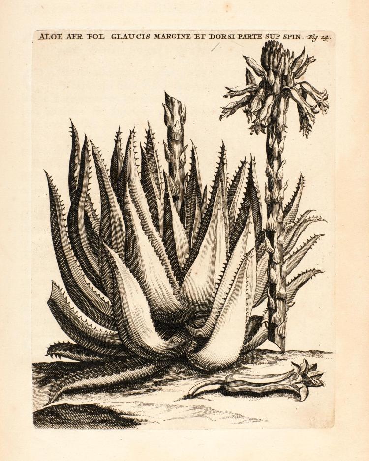 COMMELIN. PRAELUDIA BOTANICA. 1703