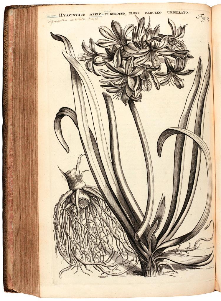 COMMELIN.HORTI MEDICI AMSTELODAMENSIS. 1697