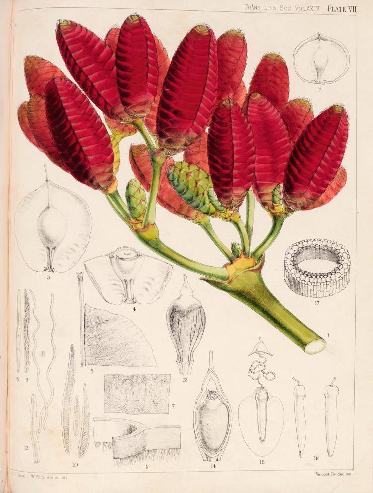 HOOKER. ON WELWITSCHIA, A NEW GENUS OF GNETACEAE 1862