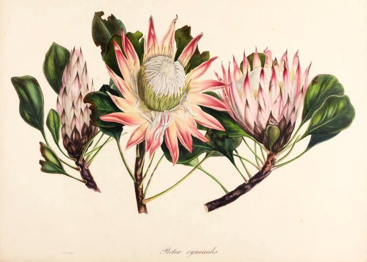 ROUPELL, ARABELLA.SPECIMENS OF THE FLORA OF SA. 1849