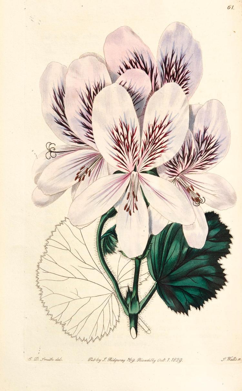 SWEET. GERANIACEAE. 1822