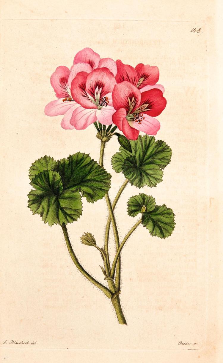 TRATTINICK. NEUE ARTEN VON PELARGONIEN.1825-1843
