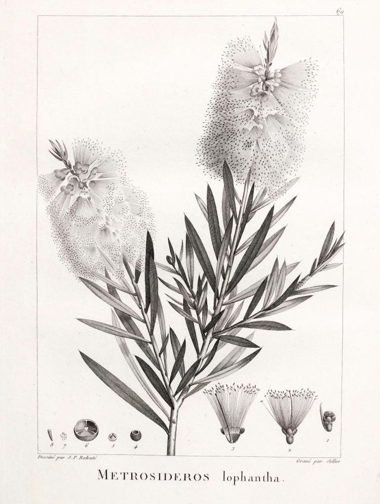VENTENAT. DESCRIPTION DES PLANTES. [1800-03]